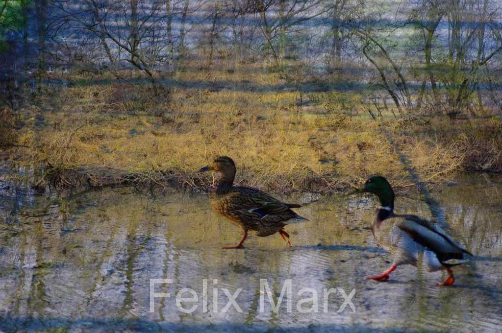 WaterwalkingDucks
